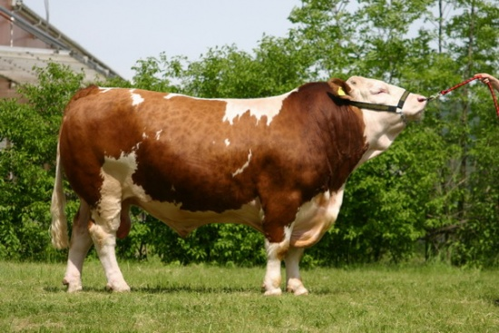 Simmental Male